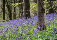 Bluebell Wood (Trev & Bron) Tags: bluebells wales spring sigma 24105mm nikond600