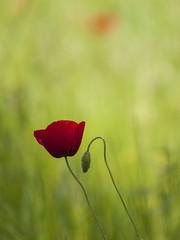 Tendre penchant * (Titole) Tags: bokeh poppy poppies bud friendlychallenges titole nicolefaton