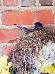 Robin, birds and spring garden (Tatiana12) Tags: spring michigan annarbor frontporch