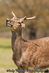 2016-05-04-046 (Andy Beattie Photography) Tags: uk england nature mammal photography europe photographer wildlife yorkshire deer halifax ungulate northyorkshire westyorkshire ripon eventoed pecora cervusnippon sikadeer hoofed andybeattie andybeattiephotography