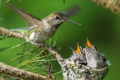 _BAO5782-2 (Confusion_Circle) Tags: beach hummingbird nest kits annas