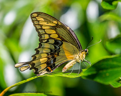 B36C5304 (WolfeMcKeel) Tags: vacation lake butterfly giant keys spring key florida wildlife butterflies national crocodile largo swallowtail refuge nwr 2016 floridakeys2016vacationspring