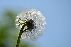 Shine, it's your last chance! (Pics4life.nl) Tags: blue light sky flower holland green netherlands spring nikon bokeh nederland voorjaar paardenbloem fluf
