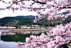 (Clonedbird  & Iris ) Tags: japan nikon  cherryblossom  sakura    2016   kansi  d810