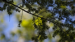 (amy20079) Tags: trees abstract green nature silhouette spring natural bokeh patterns maine may newengland depthoffield pineneedles