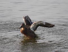 Female Mallard Duck(Anas platyrhynchos) (jdathebowler Thanks for 965,000+ views.) Tags: duck aves waterfowl anasplatyrhynchos familyanatidae orderanseriformes femalemallardduck genusanas speciesaplatyrhynchos