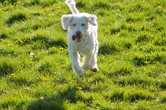 Pheonix has fun (VVeltePhotographie) Tags: flowers dog white snow green fun spring jumping running hund frhling