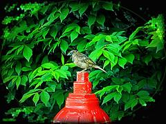 Profowl (rcvernors) Tags: red green bird hydrant bush profile feathers firehydrant shrub redfirehydrant rcvernors birdprofile rickchilders profowl