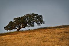 Set in gold (Marc Briggs) Tags: oak oaktree oakwoodland goldengrass dsc4134cw