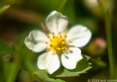 Strawberry Flower (Eric Storch Photography) Tags: plant flower macro nature fruit strawberry dof bokeh depthoffield wildstrawberry