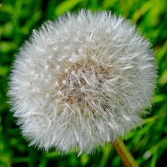 Taraxacum (rustyruth1959) Tags: light white plant flower green texture nature rural stem nikon outdoor yorkshire dandelion seeds organic nikkor spherical seedheads taraxacum dandelionclock nikond3200 organicpattern blowballs achenas