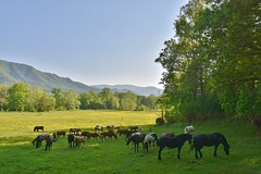 Seeking shade...horses at Cades Cove (stevelamb007) Tags: horses mountains nature rural nikon farm tennessee pasture cadescove smokymountainsnationalpark nikkor18200mm stevelamb d7200