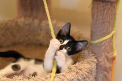 Garrison (Save-A-Pet Adoption Center) Tags: male cat blackwhite kitten foster tuxedo garrison 2016 saveapet robynslitter