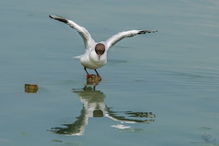 black headed gull (debraflynnphotography) Tags: birds sussex chicks wildfowl wwtarundel