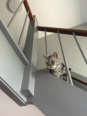 Cat on the Stairs (Comicbase) Tags: home cat kat pussy thuis poes django
