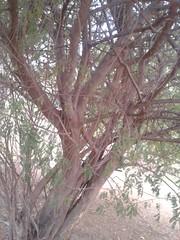 5 (Albizia amara) (Dr.S.Soundarapandian) Tags: india tree krishna tamilnadu pods amara antioxidant albizia siris usilai unjai