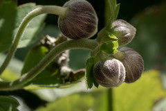 Knospen einer Japanischen Anemone - Buds of a Autumn anemone (anemone hupehensis) (riesebusch) Tags: berlin garten marzahn