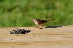 Song sparrow (timbo on the hill) Tags: dxo summer usa indiana remedy ranch remedyranch bird songsparrow female