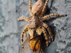 Araa con presa (Marcelo Esco) Tags: naturaleza macro nature insect spider eating hunting araa bicho comiendo insecto cazando