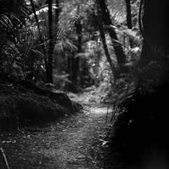 I will continue to focus. (spannerino) Tags: path forest newzealand bronicasqa 150mm low black white vintage filmlives handprocessed square scanned dof blackandwhite monochrome analogue analog canon9000f film mediumformat pov vintagecamera viewpoint waistlevelviewfinder 6x6 120mm outdoor zenzabronicasqa