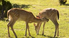 DSC_1617 (Angel Cher ) Tags: fawn whitetailed deer