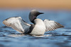 The Enigmatic Loon (Khurram Khan...) Tags: pacificloon loon arctic alaska wildlife wildlifephotography wild ilovewildlife ilovenature iamnikon wwwkhurramkhanphotocom birdphotography birds birding