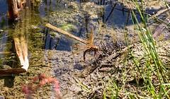 Brown Hawker Aeshna grandis (Stuart Carlton) Tags: brownhawker aeshnagrandis dragonflies hawkers nottinghamshire