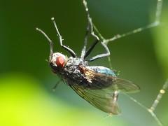 Ins Netz gegangen (Wallus2010) Tags: spinne spinnennetz fliege hs50exr achromat nahlinse