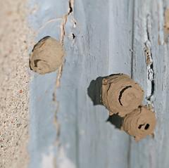 Potter Wasp Nests (REGOR NOTPUL) Tags: potterwasp waspnest glenburnieontario