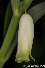 Polygonatum odoratum (Mill.) Druce (Lus Gaifm) Tags: polygonatumodoratum asparagaceae ruscaceae selodesalomo solomonsseal angularsolomonsseal scentedsolomonsseal lusgaifm macro natureza nature planta plantae flor flower infestaparedesdecoura