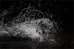 A cold plunge. (Marijke M2011) Tags: playingdog water foxterrier boerenfox dog dogportrait hond hondenportret animal pet petportrait huisdier indoor studio studiolightning prades lanquedocrousillon pyrnesorientales