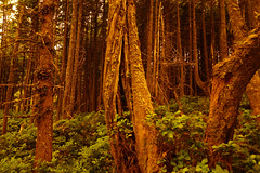 DSC06984.jpg (stef...o) Tags: ucluelet voyage vgtal fort vancouverisland nature arbre canada britishcolumbia amrique amriquedunord america bc british coast columbia flora flore forest north northern travel tree vegetal west western ca