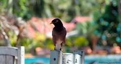 Merlo indiano (Anderama1) Tags: uccello merlo indiano uccelli volo fotografia piume primopiano natura