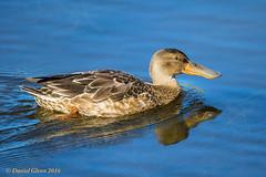 Northern Shoveler (Anas clypeata) (danielusescanon) Tags: alaska anchorage westchesterlagoon wild northernshoveler birdperfect animalplanet duck immature swimming