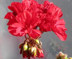 deep pink reflected (verabellapiccolachiaragloria) Tags: deeppink geranium