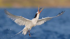 Elegant Dispaly (bmse) Tags: canon 7d2 400mm f56 l bmse salah baazizi wingsinmotion elegant tern bolsa chica fish fishing toss flip catch