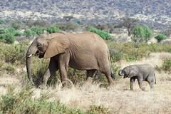 Conversation with Mom (Kitty Kono) Tags: elephants momandbaby samburu kenya kittyrileykono
