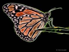 Electric_Butterfly-05 (jamesclinich) Tags: olympus omd em10 jamesclinich corel paintshoppro topaz denoise adjust clarity detail glow handheld availablelight butterfly lubbock lubbocktx texas tx insects sciencespectrum