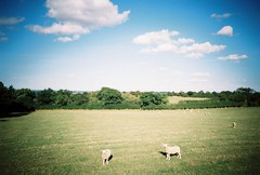 OT500 - Curious Sheep (johnnytakespictures) Tags: olympus trip500 film analogue automatic kodak colorplus200 expired warwickshire coventy canal river stream towpath walk summer sun sunshire nature natural animal lifestock field countryside curious sheep animals