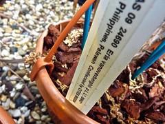 Mycaranthes vanoverberghii 3 (heinvanwinkel) Tags: 2012 asparagales bloemvandedag epidendroideae euphyllophyta hortus juni leiden liliopsida magnoliophyta mesangiospermae mycaranthesvanoverberghii nederland orchidaceae podochileae spermatophyta tracheophyta