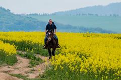 Wer reitet so spät durch Raps und Wind? (fotomanni.de) Tags: tschechien tschechischerepublik reiter blüte raps pferd středočeskýkraj chlustina