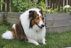 Summer Preview With Ben (~ Liberty Images) Tags: dog pet animal collie ben sable canine benedict herdingdog roughcollie