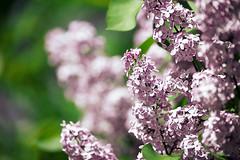 Lilac (bukharov) Tags: toronto canada green spring blossom may lilac 2015