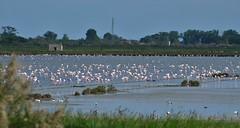 fenicotteri (ecordaphoto) Tags: pink bird nature nikon italia flamingo natura uccelli saline dx fenicotteri 55300 d5100