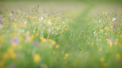 2016 Boynes - Down Among The Buttercups (Birm) Tags: morning wild orchid flower green field grass buttercup bokeh path sony meadow ranunculus 135 buttercups orchis morio stf greenwinged acris boynes worcestershirewildlifetrust