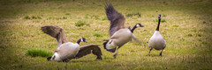 He Has Crashed (Brian Travelling Getty Contributor) Tags: uk greatbritain field grass birds animals scotland geese funny unitedkingdom crash feathers gb vignette canadagoose canadageese feathered inverclyde crashlanding westofscotland clydemuirshielregionalpark
