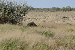 Lionhead (pmsoftware) Tags: etosha lion africa namibia d610