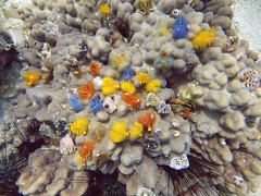 Koh Tao (Scuba Diving), Thailand (Jan-2016) 14-084 (MistyTree Adventures) Tags: ocean sea water coral thailand twins marine asia seasia underwater outdoor diving scubadiving kohtao gulfofthailand panasoniclumix