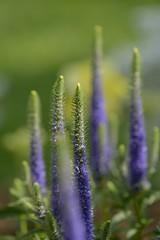 Speedwell (brev99) Tags: flower bokeh selectivefocus shallowdof springflower niksoftware d7100 topazdenoise tamron180f35