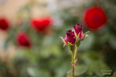 open soon (Axel Ku.) Tags: canoneos5dmarkiii canonef35mmf20 rose rosen flowers sanderrosen sanderau wrzburg deutschland franken unterfranken frankonia bayern bavaria germany 35mm f20